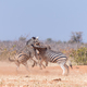 Three Burchells Zebra stallions fighting - PhotoDune Item for Sale