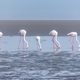 Five Greater Flamingos feeding in the lagoon at Walvis Bay - PhotoDune Item for Sale