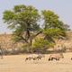 Gemsbok Herd - PhotoDune Item for Sale