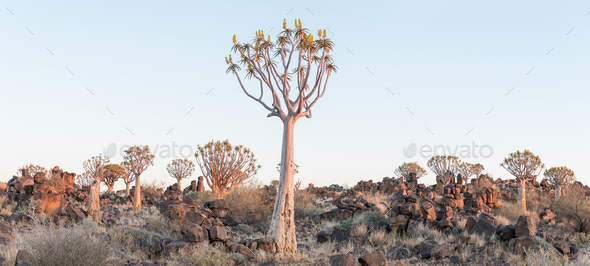 Panoramic view of quiver tree forest at Garas near Keetmanshoop - Stock Photo - Images