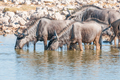 Blue wildebeest drinking water at a waterhole in Northern Namibia
