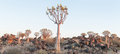 Panoramic view of quiver tree forest at Garas near Keetmanshoop - PhotoDune Item for Sale