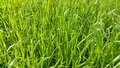 Fresh green grass close-up