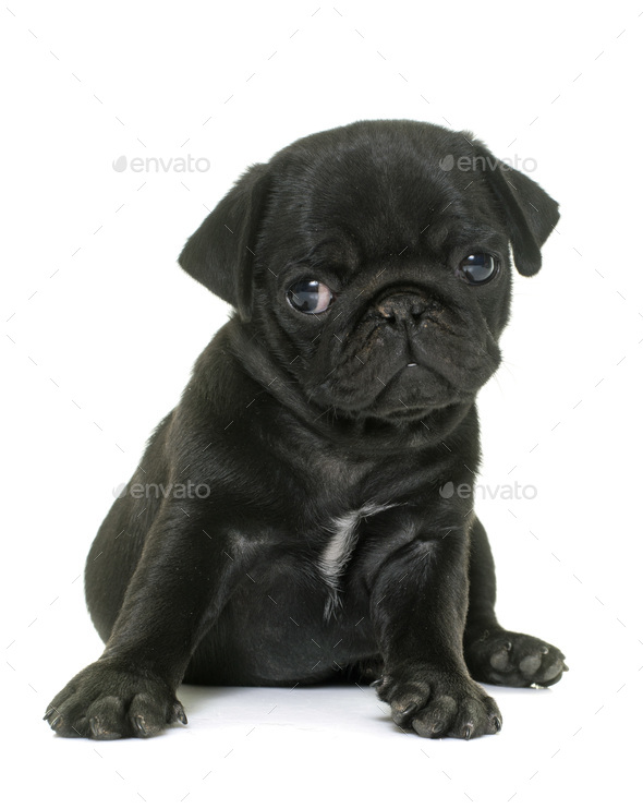 puppy black pug - Stock Photo - Images