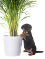 puppy rottweiler and plant - PhotoDune Item for Sale