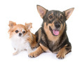 Swedish Vallhund and chihuahua - PhotoDune Item for Sale