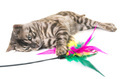 bengal cat in studio - PhotoDune Item for Sale