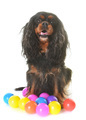 cavalier king charles - PhotoDune Item for Sale