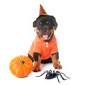 puppy rottweiler and halloween - PhotoDune Item for Sale