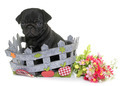puppy black pug - PhotoDune Item for Sale