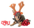 Swedish Vallhund and reindeer horn