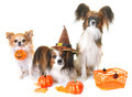 young papillon dogs, chihuahua and halloween - PhotoDune Item for Sale