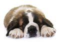puppy saint bernard - PhotoDune Item for Sale