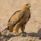 Tawny Eagle at Waterhole - PhotoDune Item for Sale