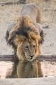 Drinking Lion - PhotoDune Item for Sale