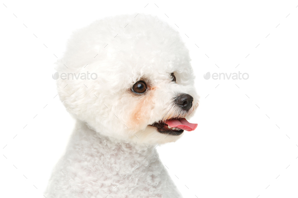 beautiful bichon frisee dog - Stock Photo - Images
