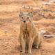 Yellow Mongoose - PhotoDune Item for Sale