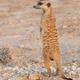 Meerkat in the Kalahari - PhotoDune Item for Sale