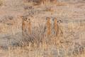 Kalahari Meerkat Colony - PhotoDune Item for Sale