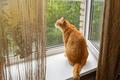 Red cat on the windowsill