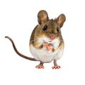 Begging Field Mouse on white background - PhotoDune Item for Sale