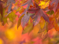 Autumnal colored maple leaves