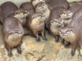Funny Group of small otters
