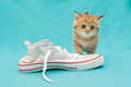 Red British kitten and white sneakers