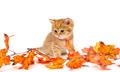 Little British kitten and autumn leaves