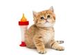 Small British kitten and bottle of milk