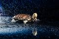 Australian eastern long-necked turtle in heavy rain