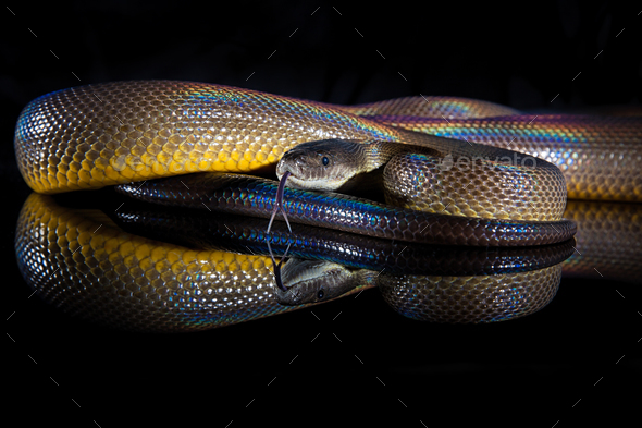 Rainbow Serpent Water Python - Liasis fuscus - isolated on black - Stock Photo - Images