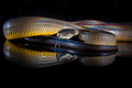 Rainbow Serpent Water Python - Liasis fuscus - isolated on black