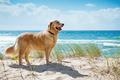 Golden retriever on a sandy dune overlooking beach