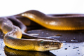 Single Rainbow Serpent Water Python - Liasis fuscus - isolated o