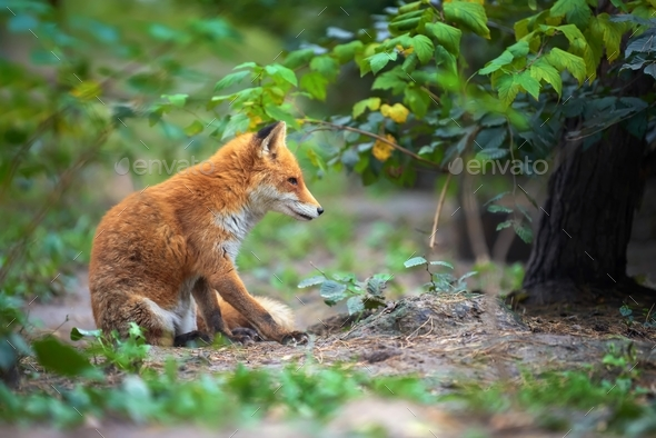 Portrait of a red fox (Vulpes vulpes) - Stock Photo - Images