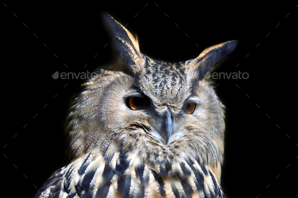 Wild young owl portrait - Stock Photo - Images