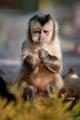 Capuchin monkey - PhotoDune Item for Sale