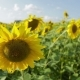 Sunflowers in a Field_5 - VideoHive Item for Sale