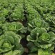 chinese cabbage crops in growth at field - PhotoDune Item for Sale