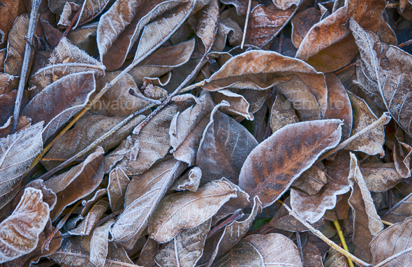 leaves in frost - Stock Photo - Images