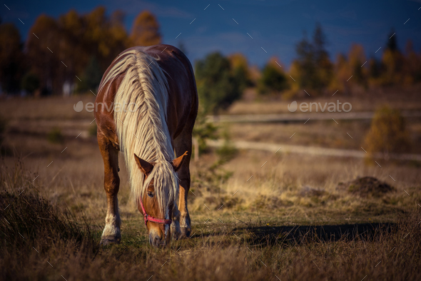 Grazing horse on alpine pasture in the autumn - Stock Photo - Images