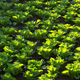 chinese cabbage in growth at field - PhotoDune Item for Sale