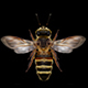 Honey Bee - VideoHive Item for Sale