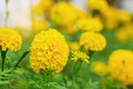 The beauty marigolds at nature