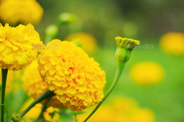 The beauty of marigolds in nature - Stock Photo - Images