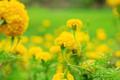 Yellow marigold of beauty