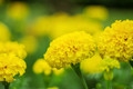 yellow marigolds with background blurred