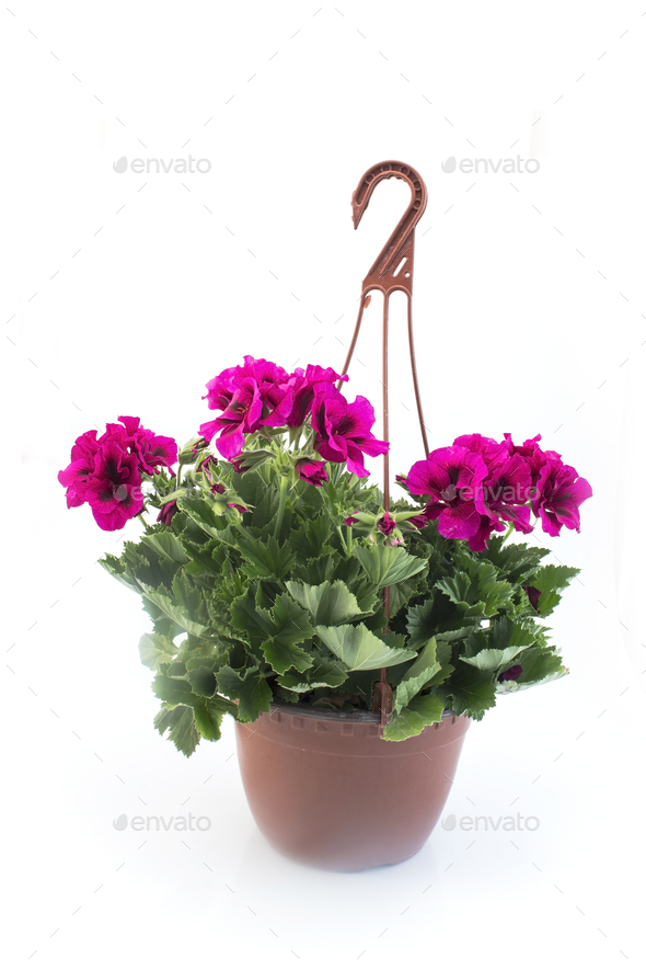 Pink England Geraniums Potted - Stock Photo - Images