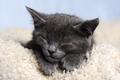 Cute grey sleeping kitten close up